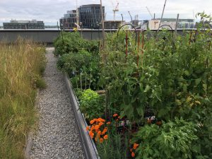 Photo: Members' gardens in the green roof on the medium rise building of Woodsworth